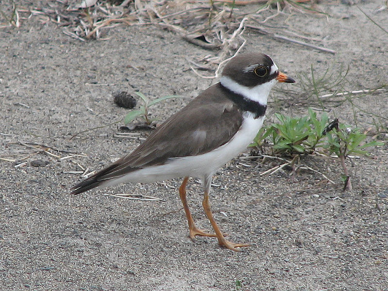 File:Semipalmated Plover.jpg