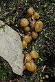 Sengbachtalsperre 20.08.2017 Jelly Baby - Leotia lubrica (37359603956).jpg