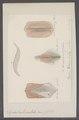 Sepia tuberculata - - Print - Iconographia Zoologica - Special Collections University of Amsterdam - UBAINV0274 090 07 0010.tif