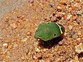 Shield-backed Bug (Solenosthedium ? sp.) (7080457837).jpg