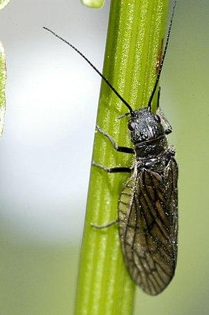 Alderfly - Sialis fuliginosa Belgian High Ardennes