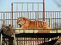 Sibírsky tiger - panoramio.jpg