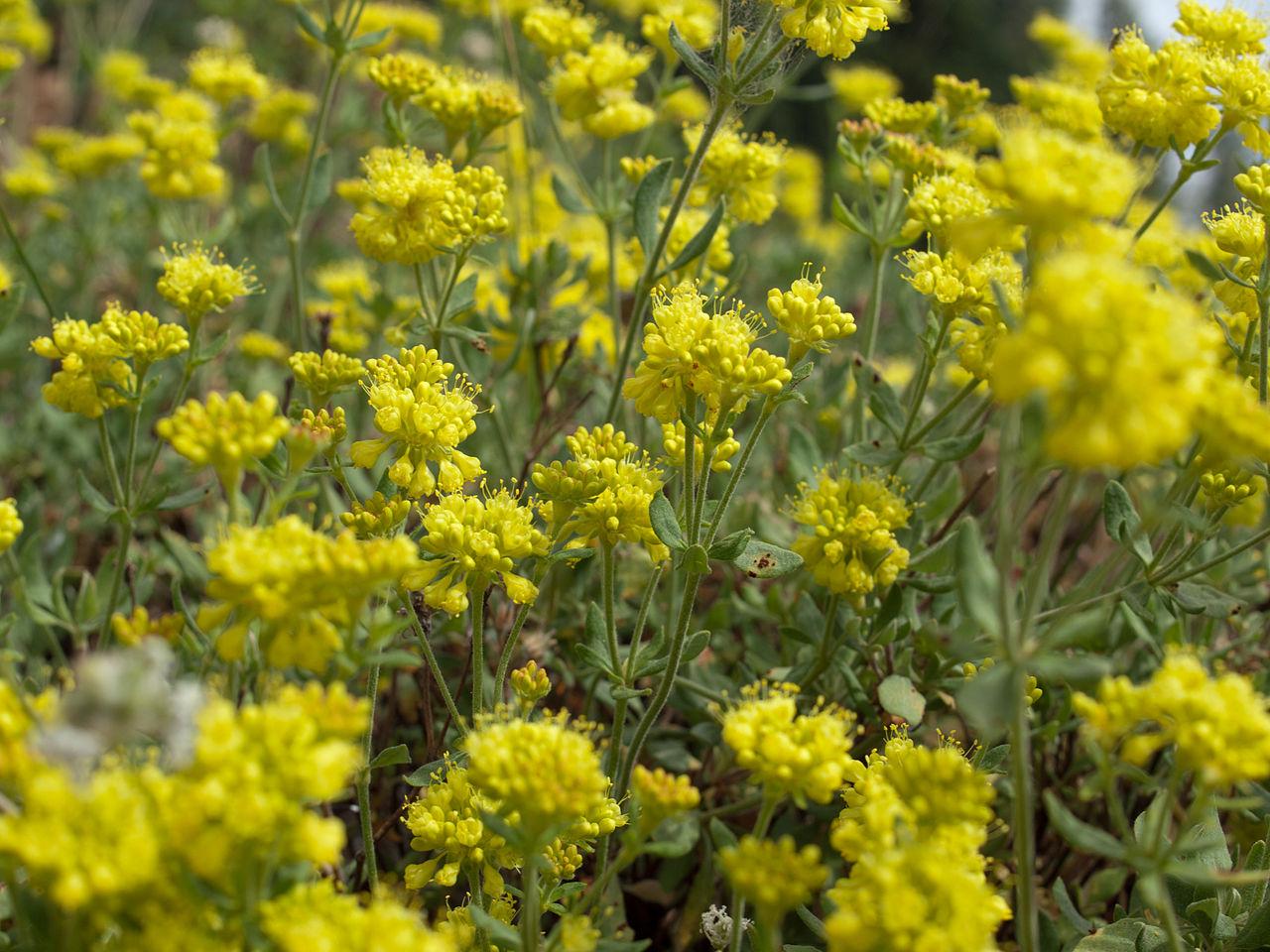 File Sierra Nevada sulphur flower Eriogonum umbellatum furcosum