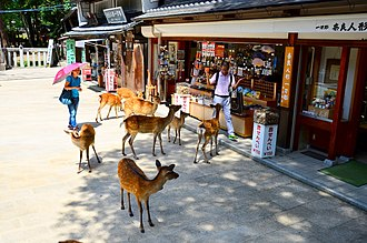 Nara, Nara - Deer approaching tourists in Nara Park in summer.