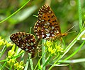 Silver-bordered Fritillaries, Quetico.jpg