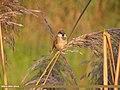 Sind Sparrow (Passer pyrrhonotus) (15708354189).jpg