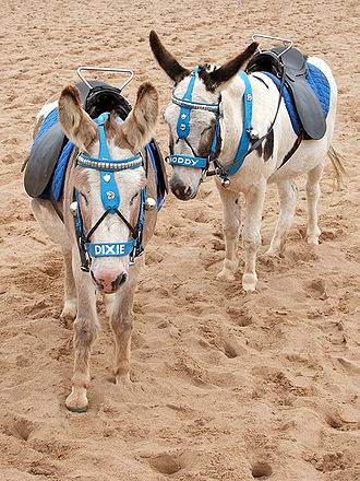 Donkey - Classic British seaside donkeys in Skegness