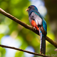 Slaty-tailed Trogon male.jpg