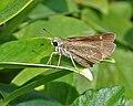 Small Branded Swift (Pelopidas mathias) in Hyderabad, AP W IMG 0630.jpg