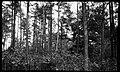 Small pine timber, near Edenton, North Carolina, May 10, 1927. (16212671106).jpg