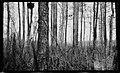 Small pine timber, near Edenton, North Carolina, May 10, 1927. (16237740932).jpg
