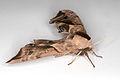Smerinthus ocellatus, Lodz(Poland)02(js).jpg