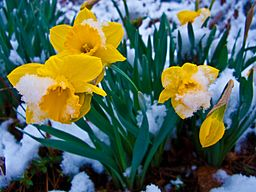 Snow-covered-daffodil-flowers - West Virginia - ForestWander