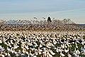 Snow geese - Fir Island - 08.jpg