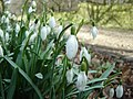Snowdrops in Scotgate - geograph.org.uk - 77314.jpg