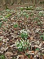 Snowdrops in the wood - geograph.org.uk - 668046.jpg