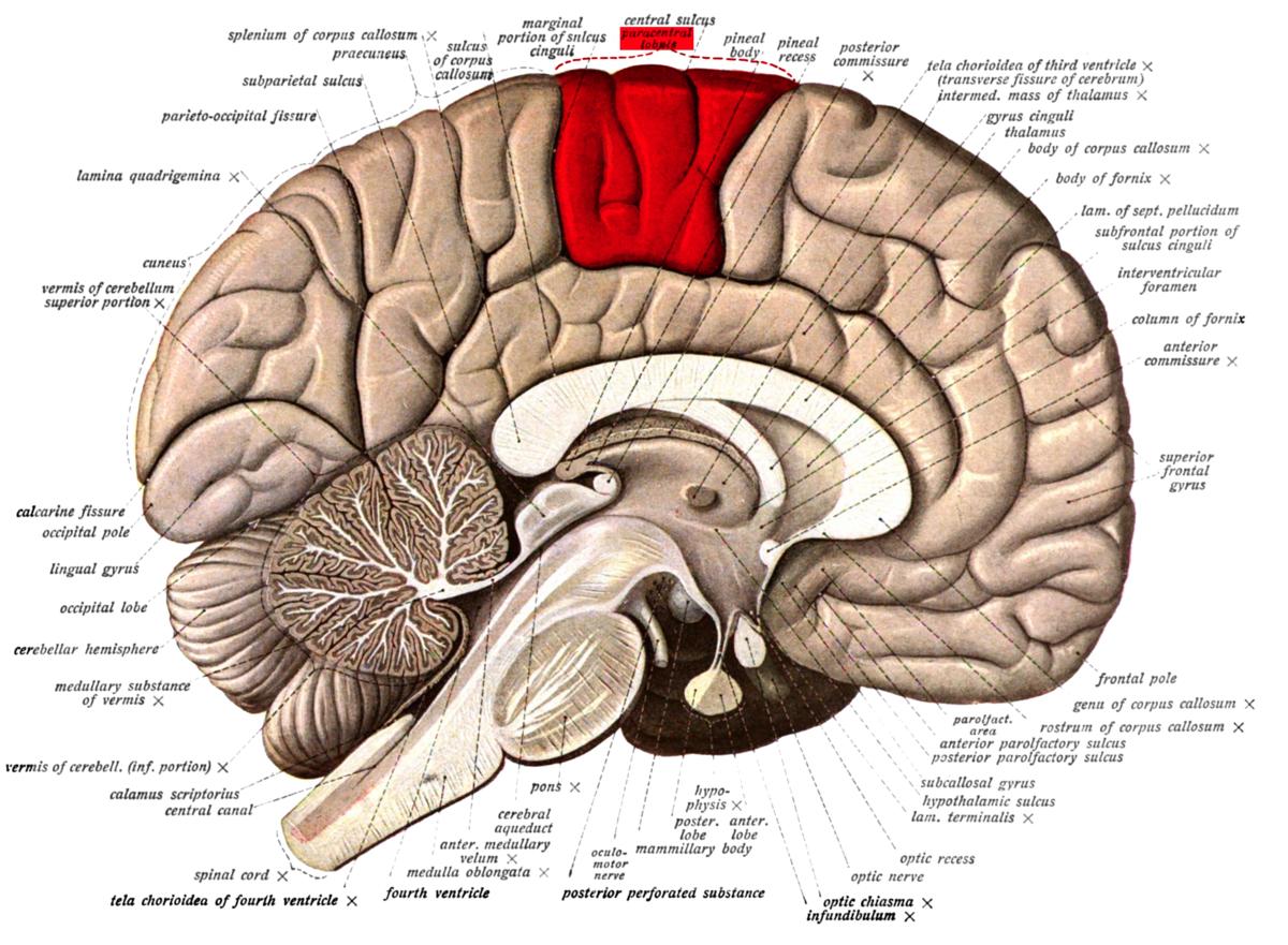 Paracentral lobule - Wikipedia
