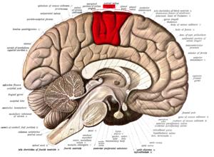 Paracentral lobule - Medial surface of left cerebral hemisphere. (Paracentral lobule is shown in red.)