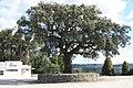 Sobreiro do Largo da Igreja - Parada de Todeia, Paredes - 18.jpg