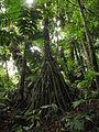 Socratea exorrhiza (11033628115).jpg