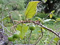 Solanum vespertilio kz1.JPG