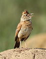 Song and dance routine of the Rufous-naped Lark, Mirafra africana at Rietvlei Nature Reserve, Gauteng, South Africa (16044794205).jpg