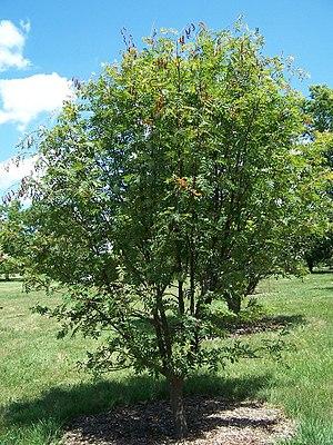 Sorbus commixta - Image: Sorbus commixta