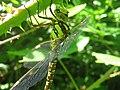 Southern Hawker Dragonfly (Aeshna cyanea) - geograph.org.uk - 1372053.jpg