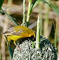 Southern Masked Weaver (Ploceus velatus) male on nest ... (32765359466).jpg