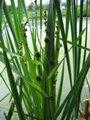 Sparganium erectum100.jpg