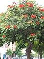 Spathodea campanulata01.jpg