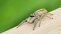 Spider 03 (MK).jpg