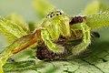 Spider Micrommata virescens with Drosophila melanogaster.jpg
