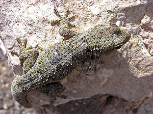 Boettger's wall gecko - Image: Spiny gecko lanzarote