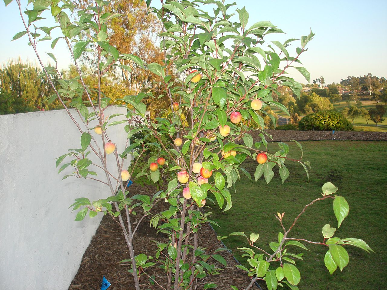 Superb Fruit Punch Tree Part - 4: File:Splash Pluot.jpg
