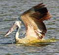 Spot Billed Pelican, Kelambakkam Backwaters, Chennai.JPG