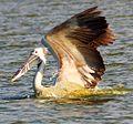 Spot Billed Pelican, Kelambakkam Backwaters, Chennai.JPG