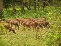 Spotted Deer, at Nagarhole National PArk.jpg