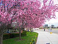 Spring Blossom Broncos Stadium.JPG