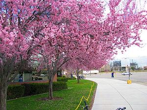 Boise State University - Spring Blossom, Broncos Stadium
