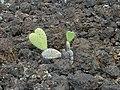 Starr-030202-0071-Opuntia ficus indica-habit-Wailea 670-Maui (23992958383).jpg