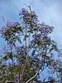 Starr-080417-4084-Jacaranda mimosifolia-flowering habit-Makawao-Maui (24278804084).jpg