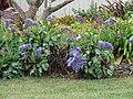 Starr-090421-6305-Limonium arborescens-flowering habit-Pukalani-Maui (24656949700).jpg