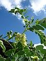 Starr-090601-8685-Senna gaudichaudii-flowers and leaves-Ulupalakua greenhouse-Maui (24842931752).jpg