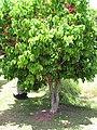 Starr-090609-0344-Syzygium malaccense-flowering habit-Haiku-Maui (24667679620).jpg