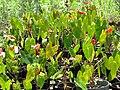 Starr-090609-0388-Anthurium andraeanum-flowering habit-Plants Alive Haiku-Maui (24963316115).jpg