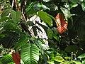 Starr-090617-0874-Sandoricum koetjape-leaves-Ulumalu Haiku-Maui (24871607391).jpg
