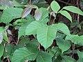 Starr-090714-2823-Sandoricum koetjape-leaves-Honokahau Valley-Maui (24943484506).jpg