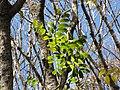 Starr-090714-2830-Swietenia macrophylla-leaves-Honokahau Valley-Maui (24968218295).jpg