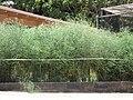 Starr-090721-3256-Asparagus officinalis-habit-Wailuku-Maui (24674968720).jpg